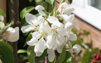 Jelly King crab apple blossom