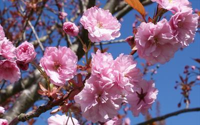 Kanzan cherry blossom