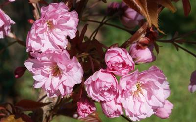 Prunus Kanzan Japanese Flowering Cherry Tree For Sale