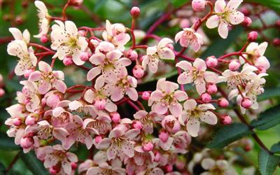 Kashmir rowan blossom