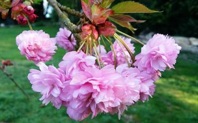 Kiku-shidare-zakura cherry blossom