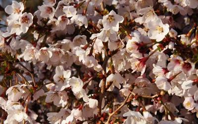 Kojo-no-mai cherry blossom