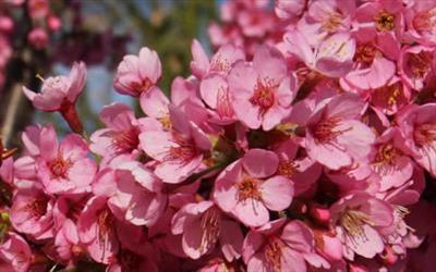Kursar cherry blossom