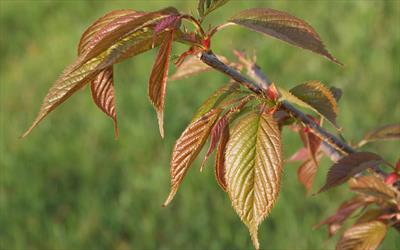 Kursar flowering cherry - young leaf colour