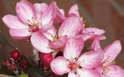 Laura crab-apple blossom