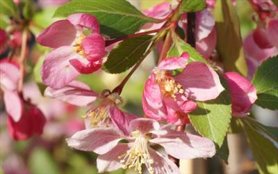 Louisa crab apple blossom