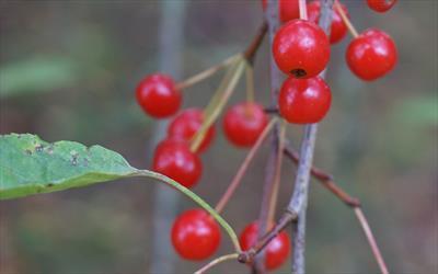 Malus baccata fruitlets
