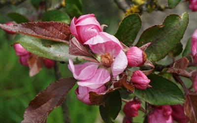 Malus hupehensis flower