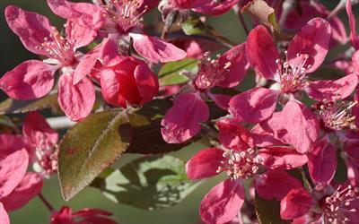 Malus Purpurea Evelyn blossom