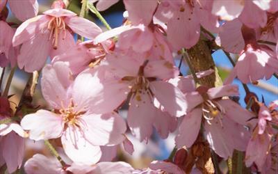 Pendula Rubra flowering cherry blossom