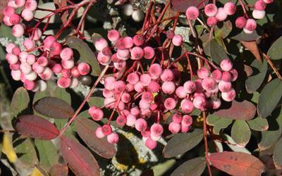 Pink Pagoda berries