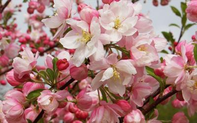 Malus pink perfection crab apple trees for sale buy online malus pink perfection mightylinksfo