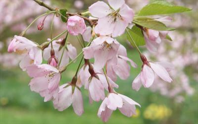 Pink Shell flowering cherry blossom