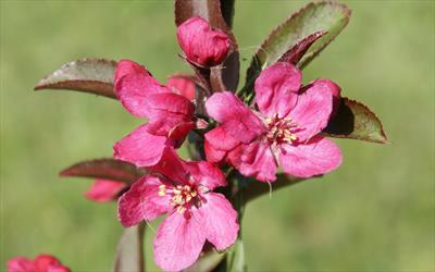 Prairie-fire crab-apple blossom