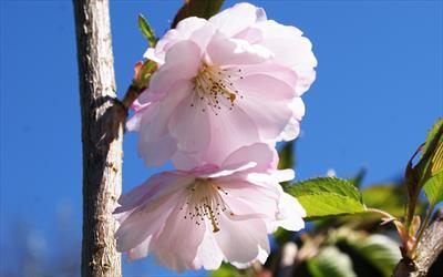 Prunus Accolade cherry blossom