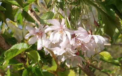 Autumnalis Rosea