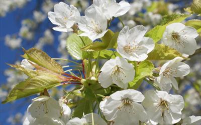 Prunus avium blossom