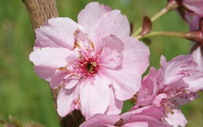Prunus Beni-yutaka cherry flower