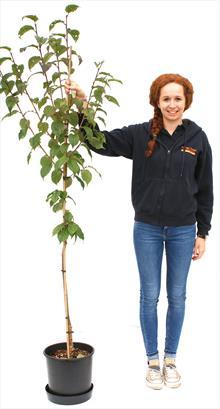 Prunus Collingwood Ingram flowering cherry tree
