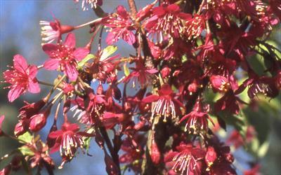 Prunus Felix Jury blossom