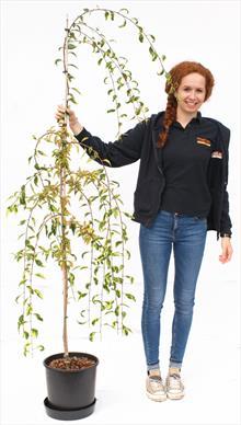 Prunus Frilly Frock tree