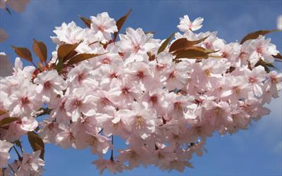 Prunus Horinjii blossom