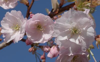 Prunus Ichiyo cherry blossom