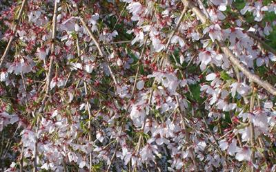 Prunus incisa Pendula Fuji cherry