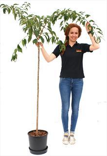Prunus Kiku-shidare-zakura top worked 120cm