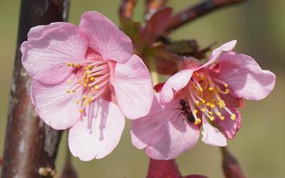 Prunus Kursar blossom