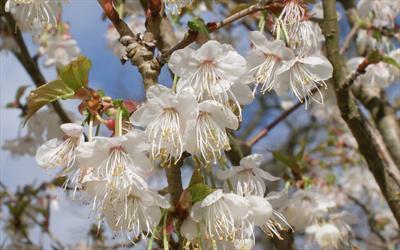 Prunus litigiosa (Tassle Cherry)