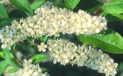 Prunus padus Albertii blossom