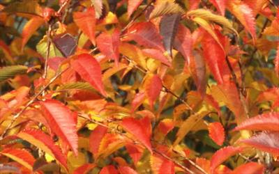 Prunus Pandora autumn leaves