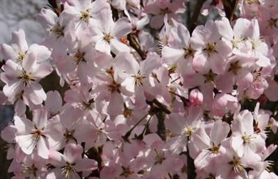 Prunus Pandora cherry blossom