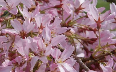 Prunus pendula Stellata