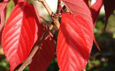 Prunus Royal Burgundy autumn leaves