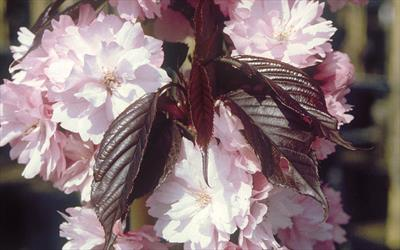 Prunus Royal Burgundy blossom