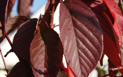 Prunus Royal Burgundy summer leaves