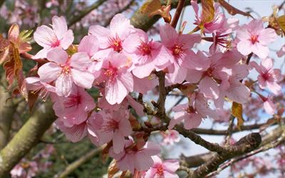 Prunus sargentii flowering cherry blossom