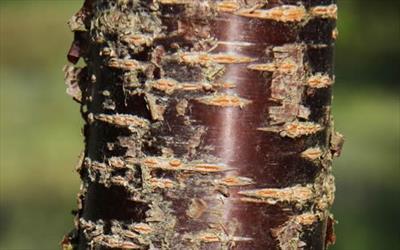 Prunus Schmittii bark