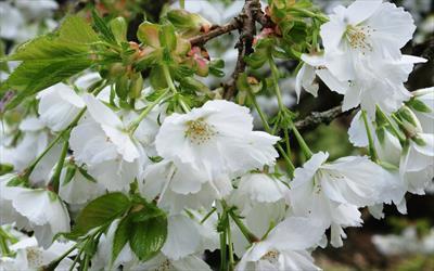Prunus Shirotae blossom