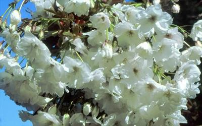 Prunus Shizuka - Fragrant Cloud
