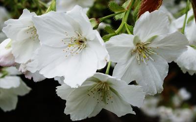 Prunus Tai-haku blossom