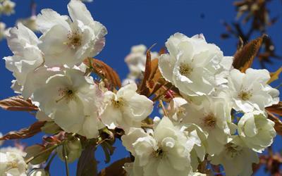 Prunus Ukon blossom