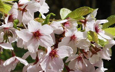 Prunus x yedoensis cherry blossom