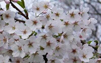 Prunus x yedoensis flowering cherry blossom