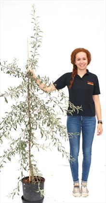 Pyrus Salicifolia Pendula pear tree