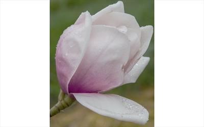 Rebecca's Perfume magnolia flower