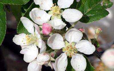 Malus rosehip crab apple trees for sale from pippin trees mightylinksfo