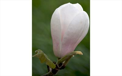 Sayonara magnolia flower